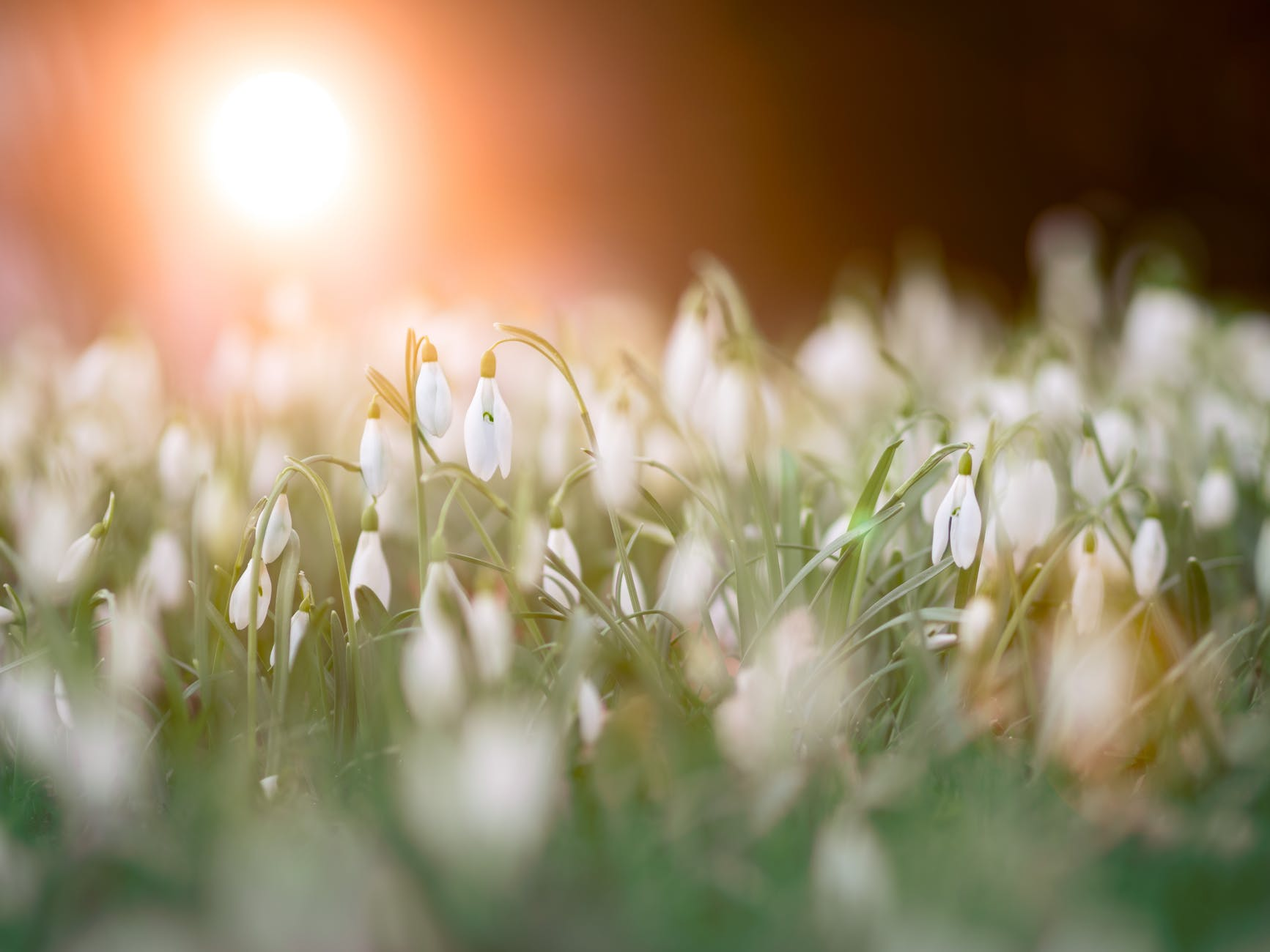 close up photo of a bed of white flowers